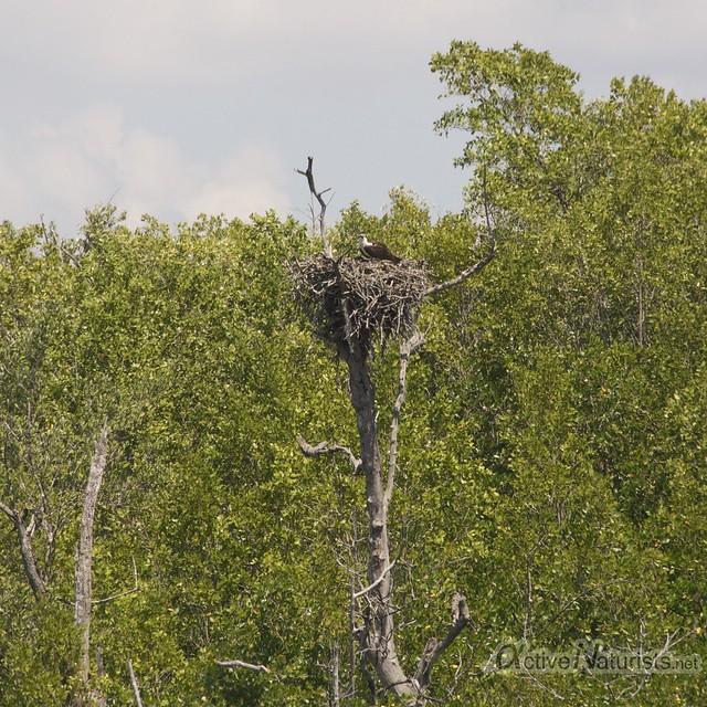 osprey nest 0000 Everglades, Florida, USA