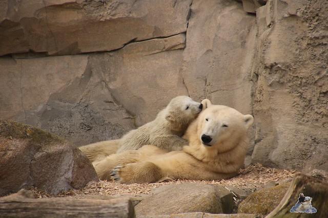 Eisbär Lili im Zoo am Meer Bremerhaven 09.04.2016 Teil 2  0175