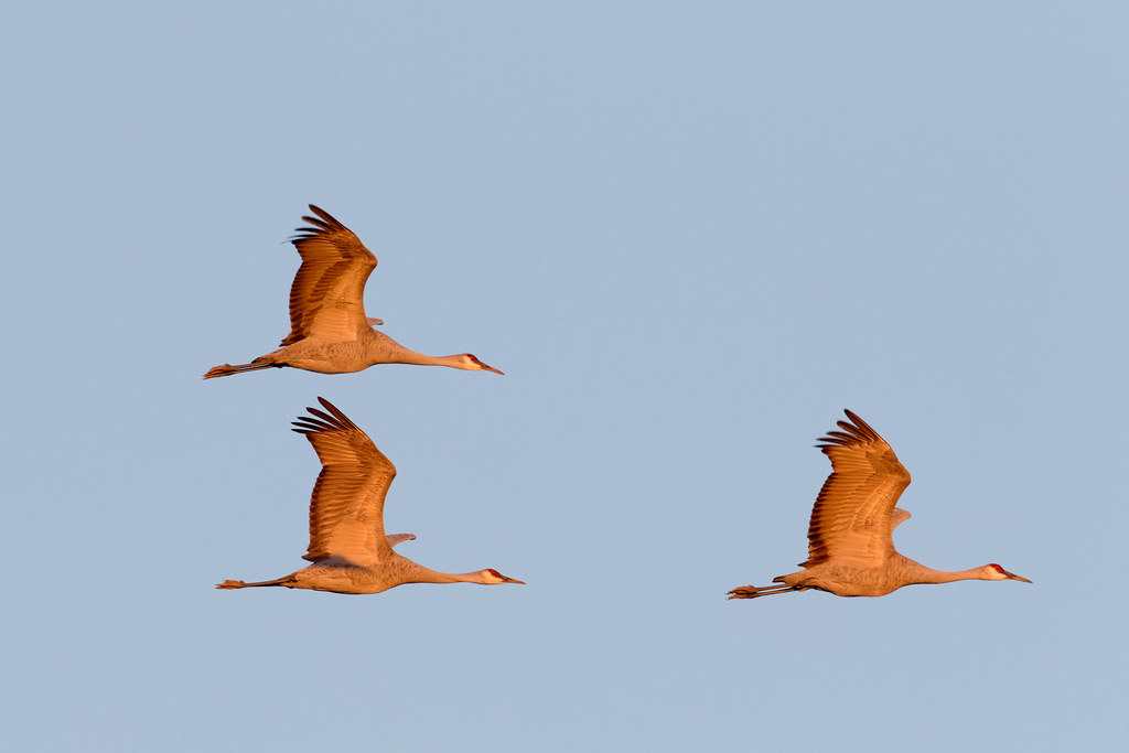 Three sandhill cranes fly in formation