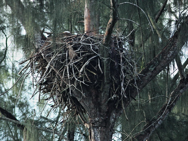 Bald Eagle nest adult incubating 20160110