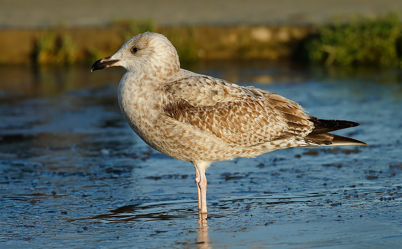 1st winter Herring Gull