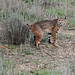Another Bobcat! by Jared Hughey