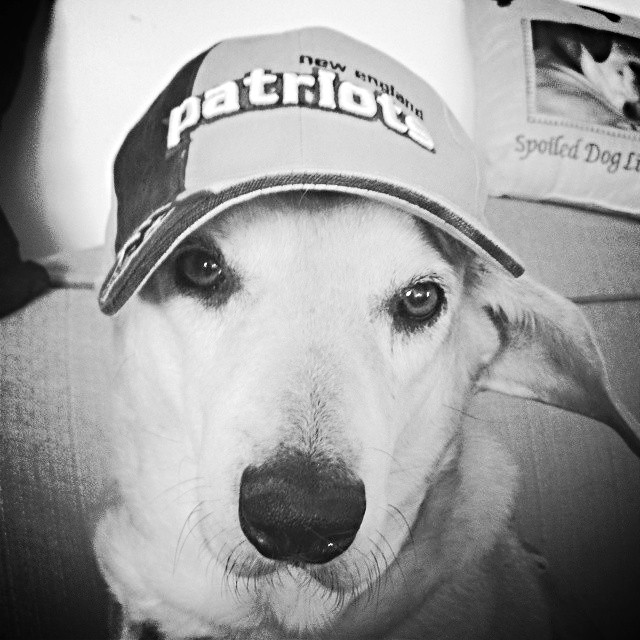 Senior Hound Rescued Dog wearing Patriots baseball hat #patriots #gopats #adoptdontshop #PatriotsNation #DoYourJob #adoptdontshop #PETriots - Lapdog Creations