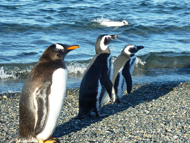 Gentoo & Magellenic penguins on Isla martillo