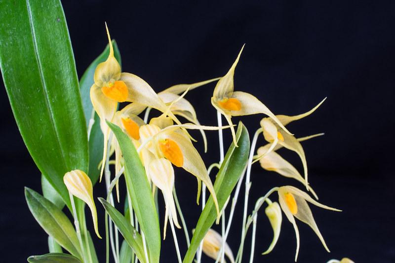 Bulbophyllum ankylochele 24453417016_101ea479f9_c