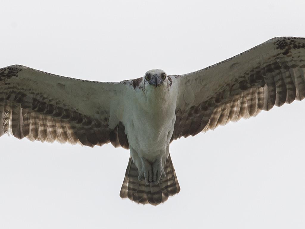 Osprey  Cuba