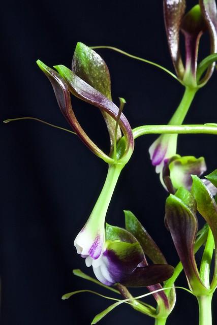 Epidendrum melanoporphyreum 24726139225_83929f769e_z