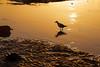 Sunset Silver Gull 2016-02-07 (_MG_0367)