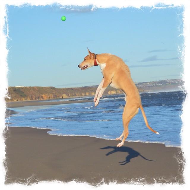 Lurcher on Crimdon Beach