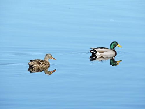 Mallard Duck #50