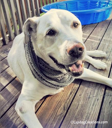 DogMomsWhoKnit #AngelDog #HappyOldDog #SmilingDog #HandKnit #Cowl #LapdogCreations ©LapdogCreations