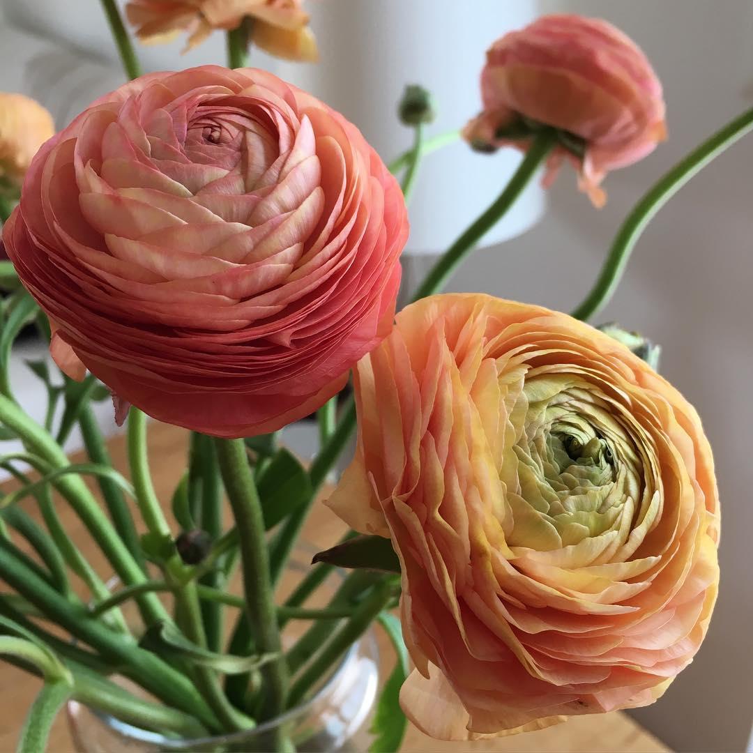 The most beautiful flowers ever // Как же я люблю ранункулюсы, такие они нежные