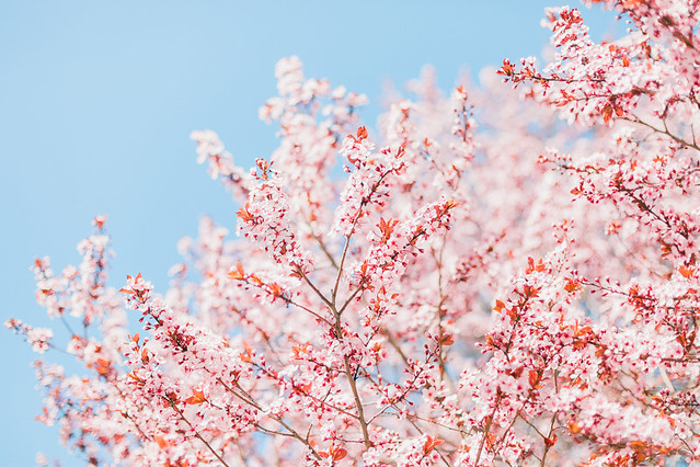 Cherry-Blossoms-38