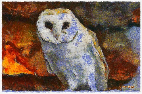 Barn Owl - Tyto alba  (view large)