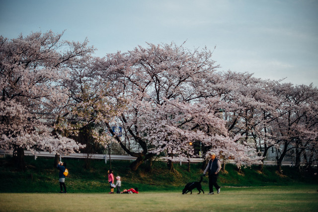 CherryBlossoms_403