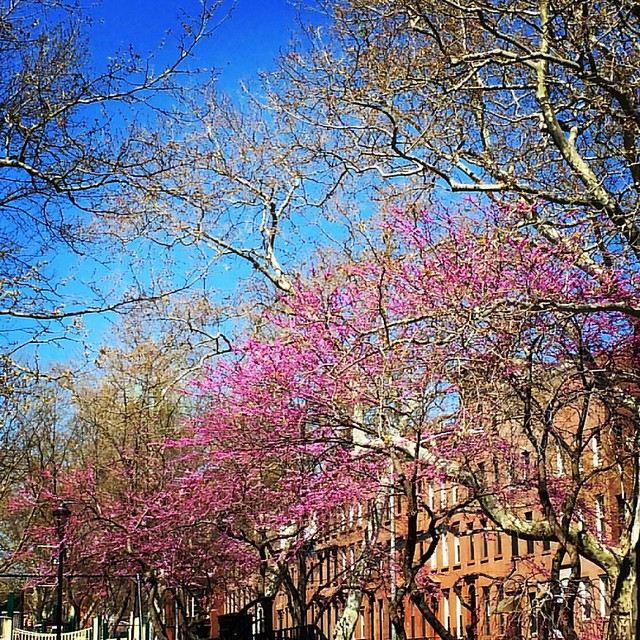 Favorite redbud trees in the neighborhood #mybrooklynlife #carrollgardens #carrollpark