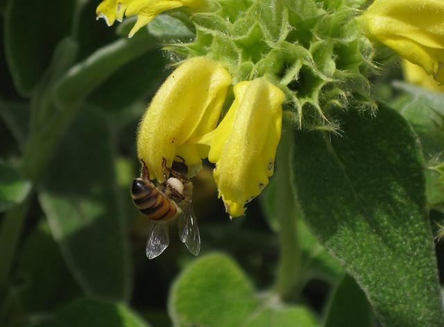 Upside Down Bee on Yellow Flower
