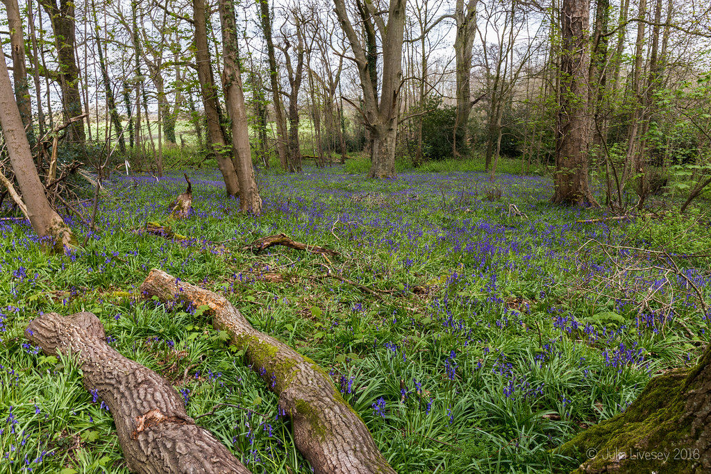 Bluebells in the Woodland Walk