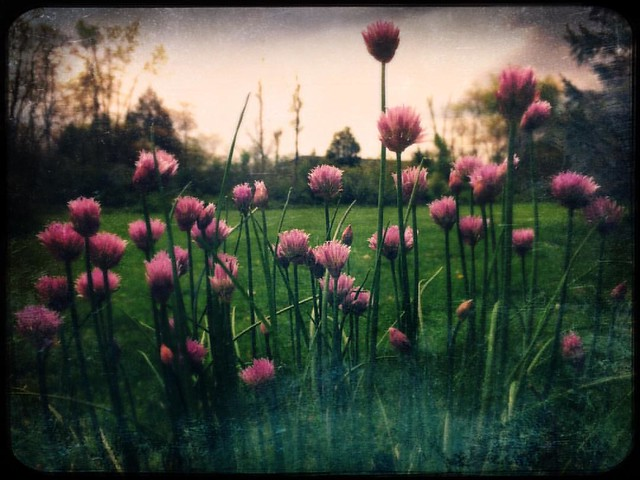 Chives #chives #spring #herbs #patiogardens