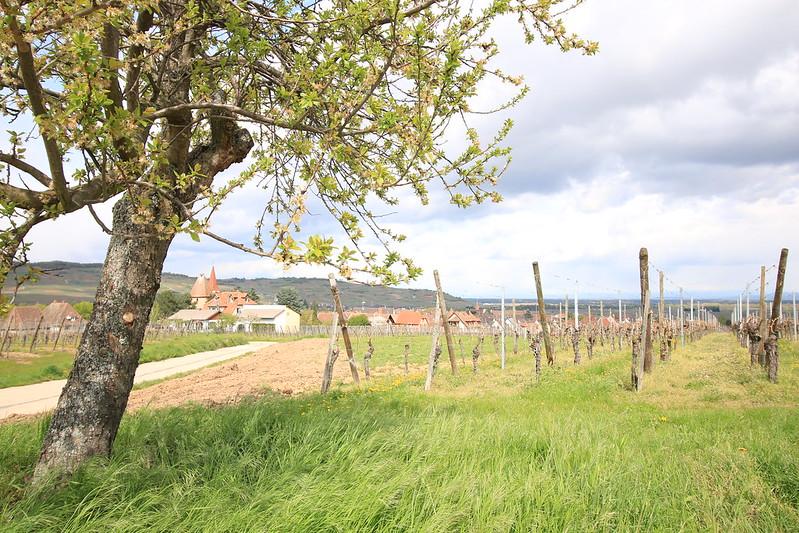Alsace Wine Road - Visit of the vines around Ammerschwihr