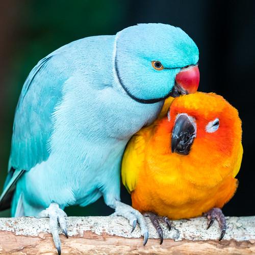 Friendly Blue Indian Ringneck Parakeet & Sun Conure Parrot
