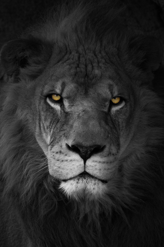 Black And White Lion Tumblr