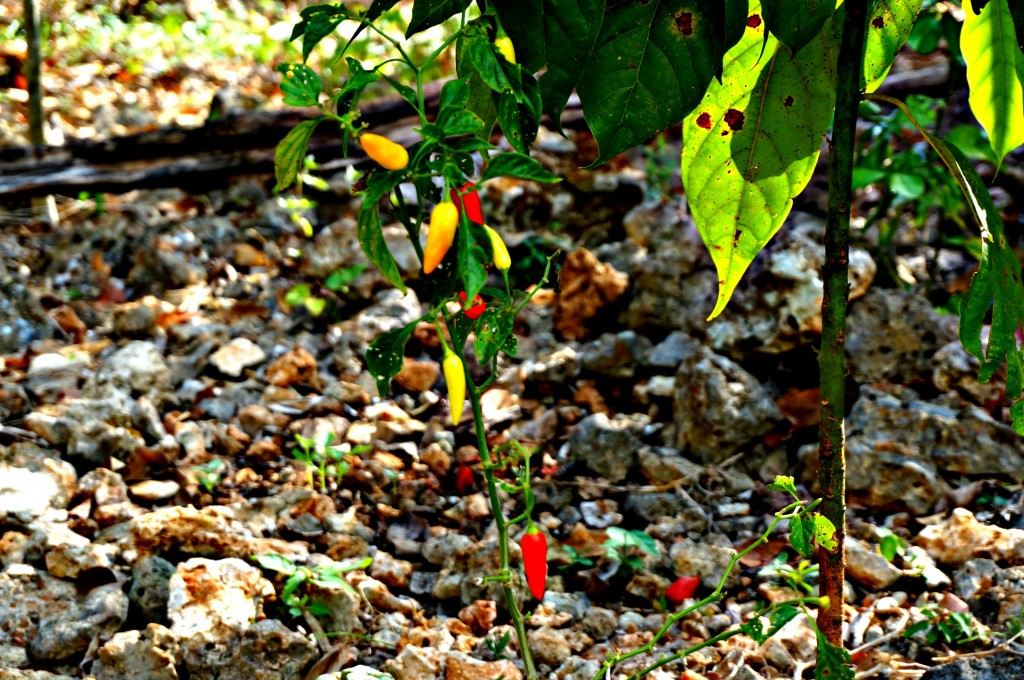 peppers growing in the jungle
