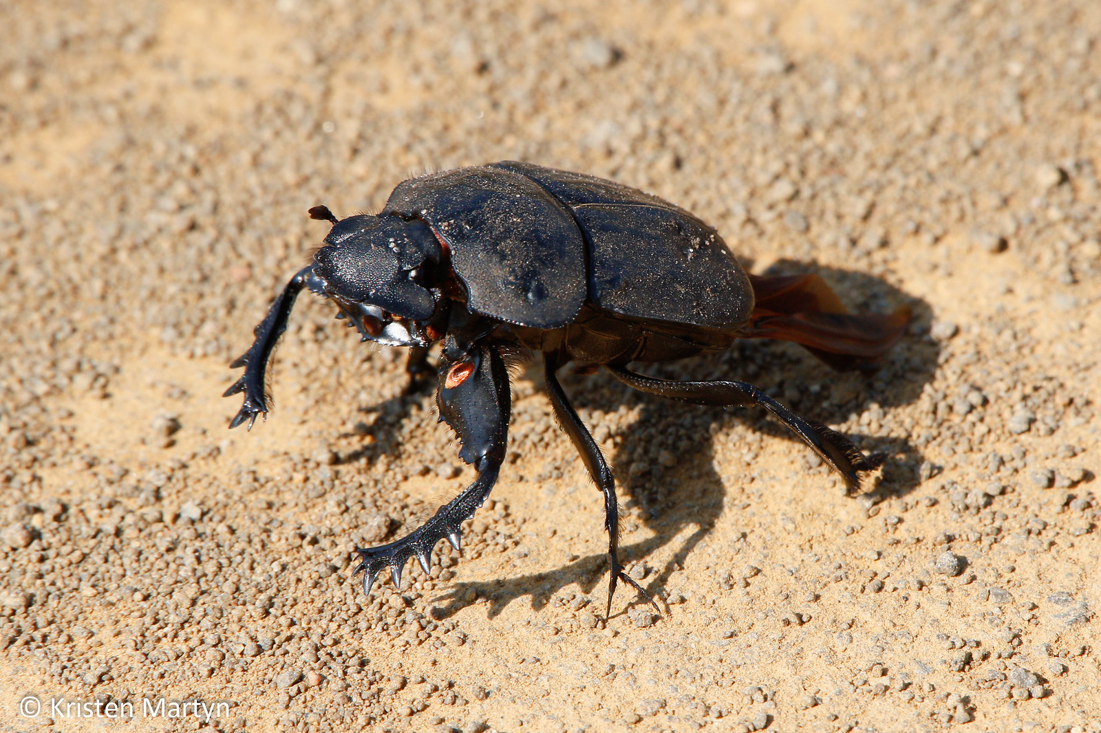 Flattened Giant Dung Beetle (Pachylomerus femoralis)