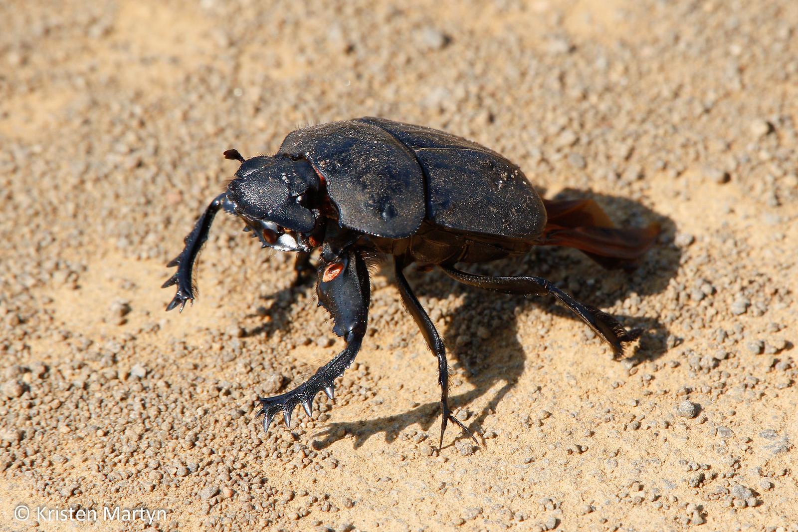 Flattened Giant Dung Beetle (Pachylomerus femoralis)