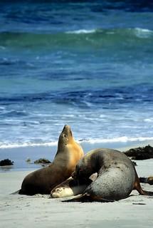 Rustende zeeleeuwen in Seal Bay - Resting sea lions at Seal bay, Kangaroo Island
