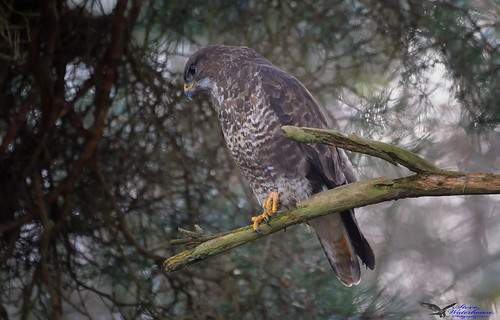 Common Buzzard Hunting for Frogs.