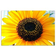 Macro Sunflower II