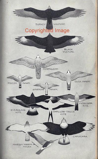 Peterson 1934 SparrowHawk Image