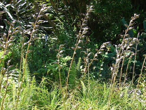 starr-071024-9883-Puya_mirabilis-inflorescences-Enchanting_Floral_Gardens_of_Kula-Maui