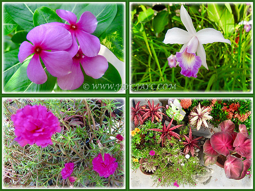 The fiery reds (Purplish-pink Periwinkle, Bamboo Orchid, Other reddish flowering plants and Moss Rose) at our front yard, Feb 14 2016