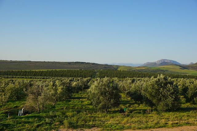 【南非國寶橄欖茶】抗氧!含30多種多酚的南非國寶橄欖茶~不含咖啡因