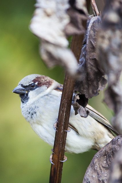 Male House Sparrow - Toronto High Park, ON, Canada