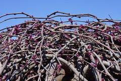 Cercis canadensis 'Covey' Lavender Twist (eastern redbud)