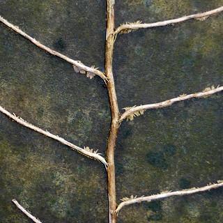gravestone ivy