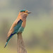 Indian Roller - Coracias benghalensis by Gary Faulkner's wildlife photography