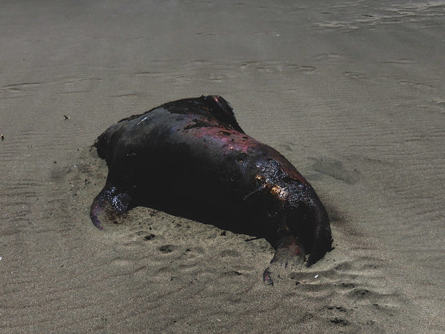 Dead Sea Lion Carcass on Ocean Beach, San Francisco (2015)