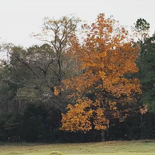 tree farm fallcolors hickory farmlife alabamathebeautiful uploaded:by=flickstagram instagram:photo=113048134276517853346253686 instagram:venuename=leefarm instagram:venue=353314486