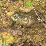 Bull Frog 1