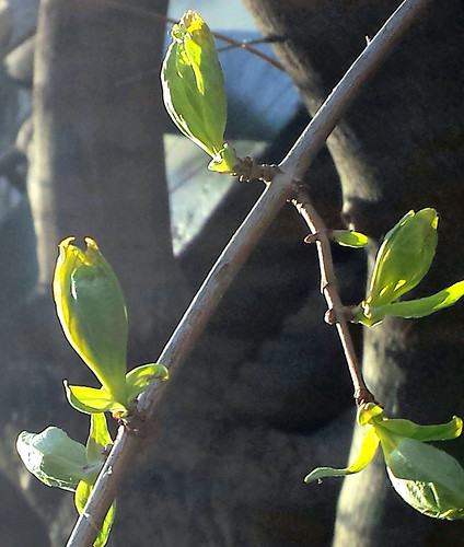 Buds Bursting