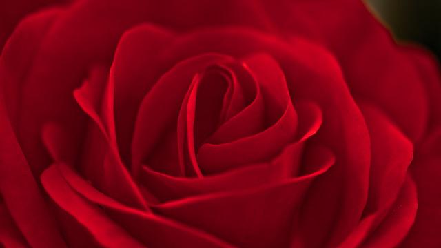 Red rose - #Explored 226