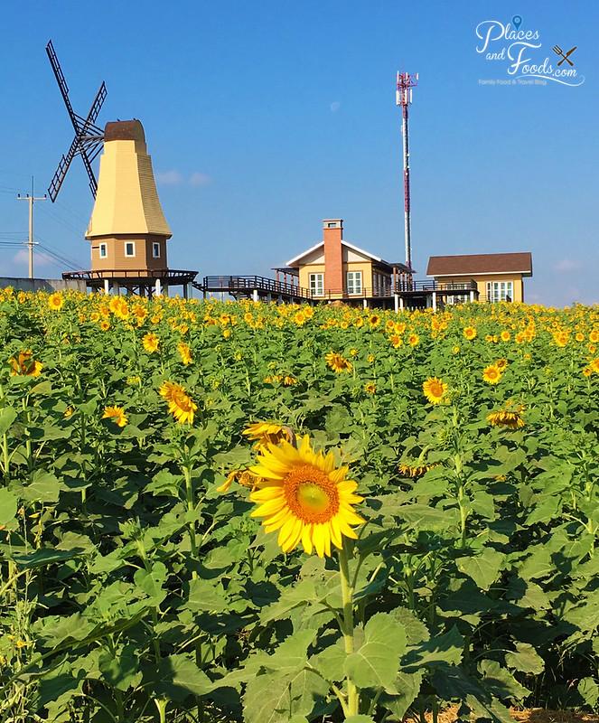 pak chong sunflower field
