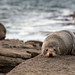 New Zealand Fur Seal by grantg59@xtra.co.nz