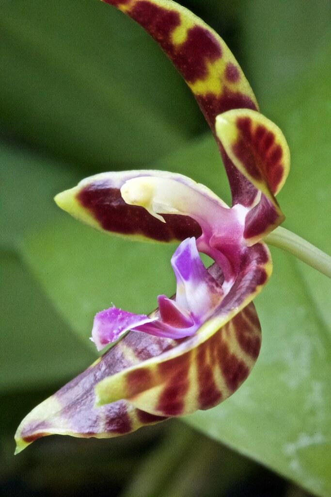 Phaaenopsis mannii x bastiani 23641622224_8a5e0cc63e_b