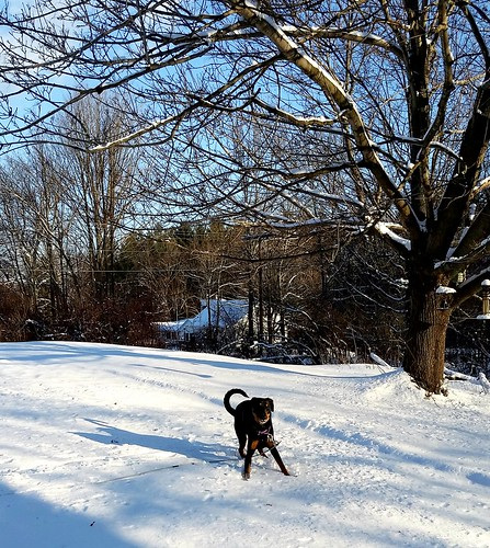 rescued Doberman puppy mix loves the New England snow - Lapdog Creations
