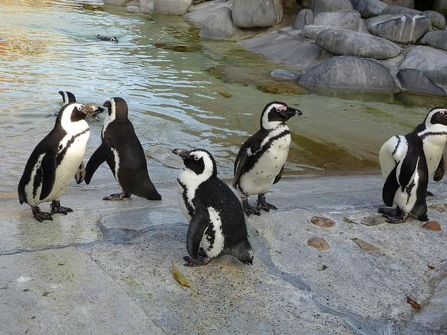 Pinguine, Wilhelma